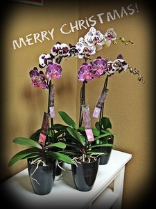 Merry Christmas Alice Adventures Orchids