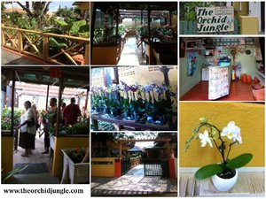 The Orchid Jungle Curacao - Alice Adventures Phalaenopsis Orchideë