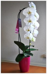 Alice Adventures orchidee witte cascade